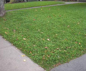 clover overseeded into lawn